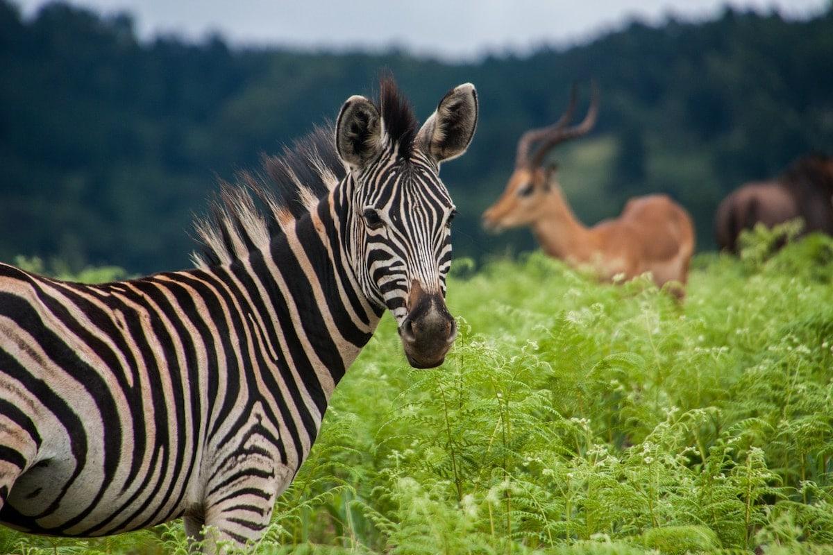A photograph of a Zebra in Eswatini (Swaziland)