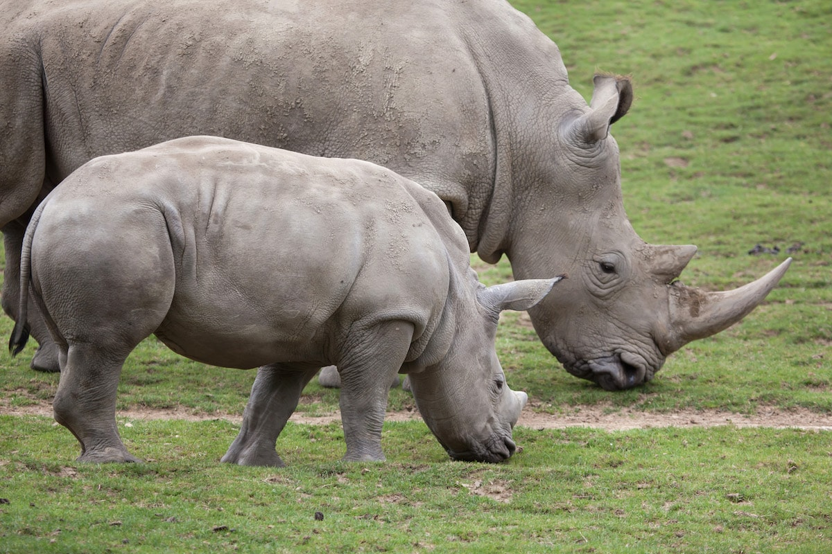 Southern white rhinoceros at the national parks in Mbabane Swaziland