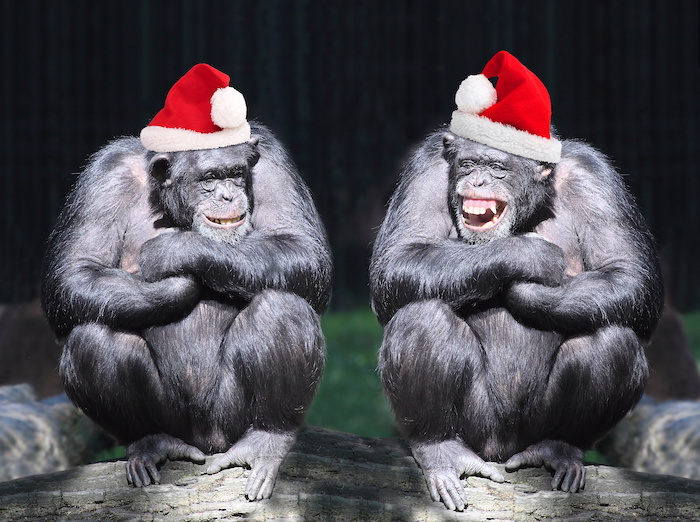 Two chimpanzees have fun on African Christmas party in a rainforest