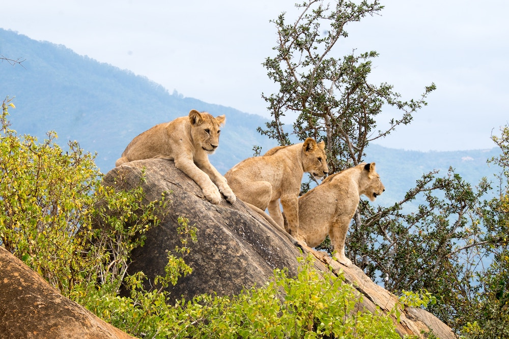 Lioness and cubs at the Tsavo East National Park