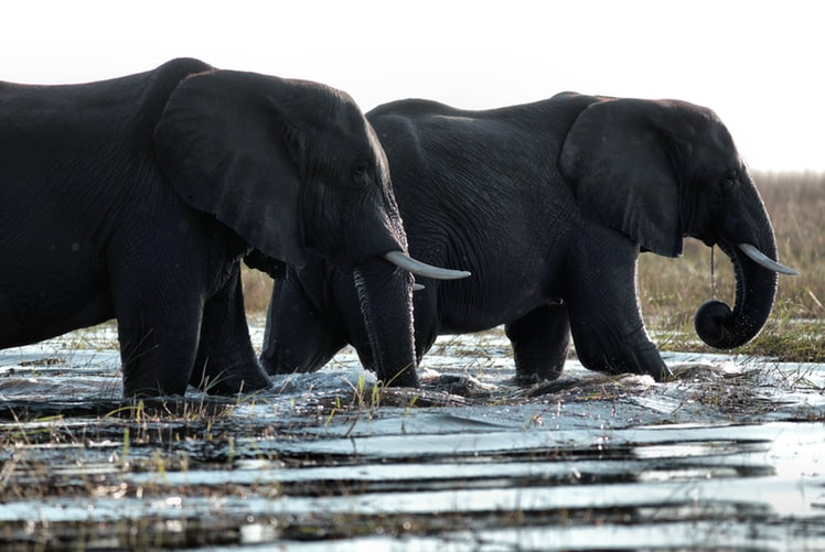 elephants drinking water botswana national parks